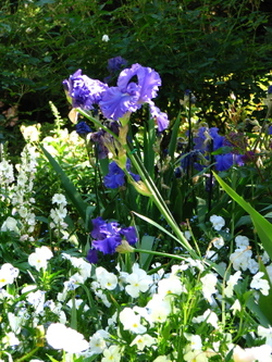 Purpleirises